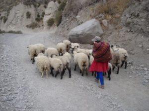 pastora-de-ovejas-peru